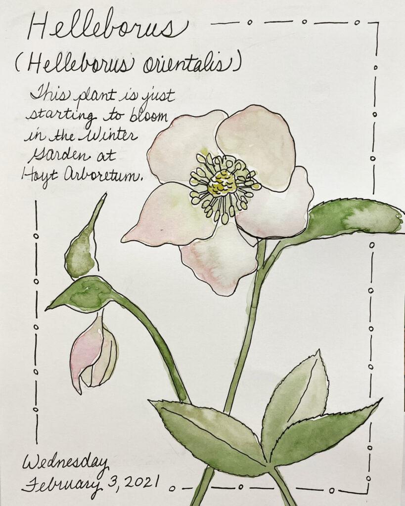 NatureJouraling_Hellaborus
