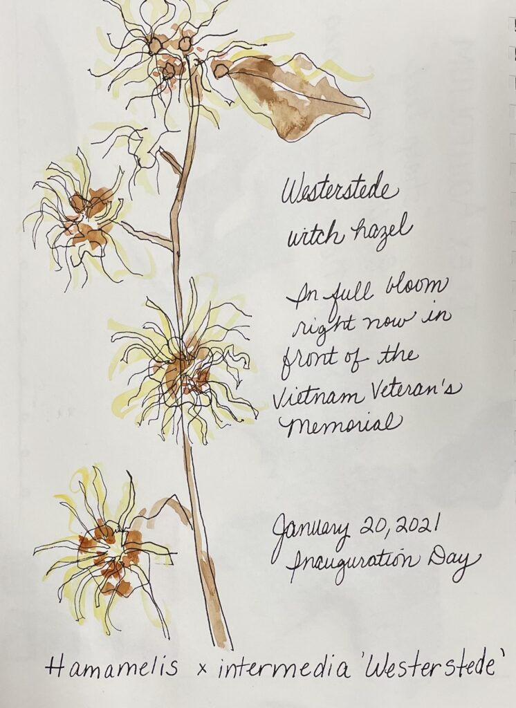 NatureJournaling_witchhazel